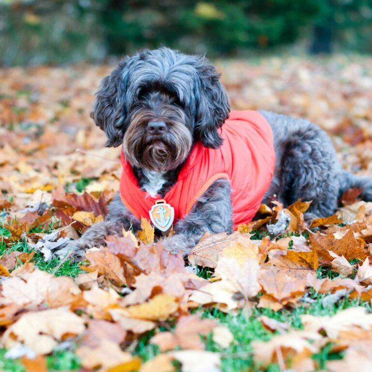 badge pat patrouille zuma porté par un chien